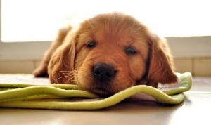 Как поставить укол собаке