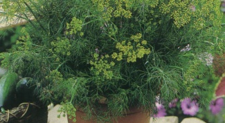 How to grow dill at home