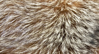 How to paint fur of a Fox at home