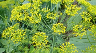 How to prepare dill water