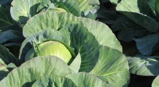 Как посадить капусту
