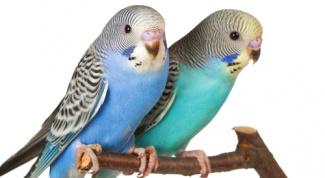 Как различить пол волнистого попугая