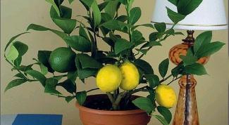 прививать лимон