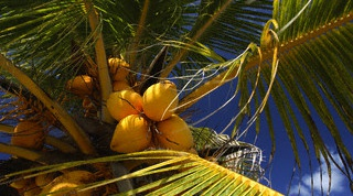How to plant a coconut