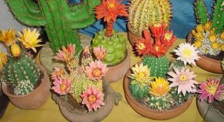 Как рассадить кактусы