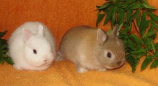Как различить пол у кроликов