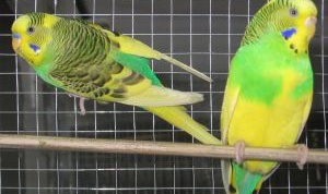 How to distinguish a male from a female parrot