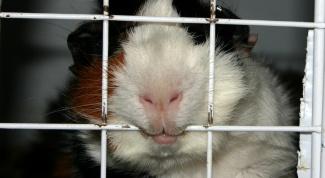 Как сделать клетку для морских свинок