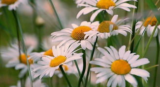 How to plant chamomile