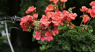 How to transplant geraniums