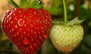 Как рассадить клубнику