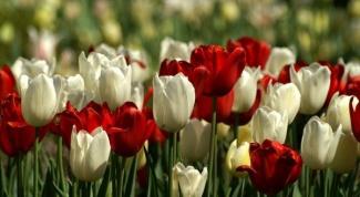 Как рассаживать тюльпаны
