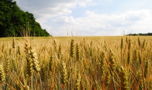 Как сделать домашнюю водку из пшеницы