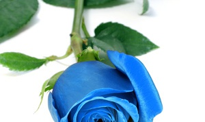How to make a blue rose