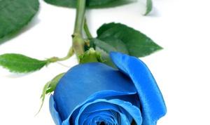 сделать синюю розу