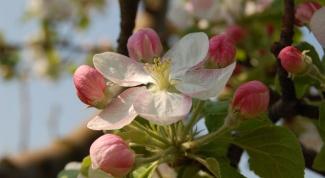 Как сделать прививку яблони