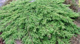 How to propagate juniper