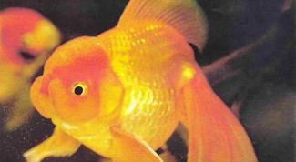 Как различать золотых рыбок