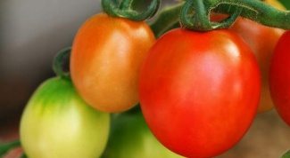 How to plant seedlings of tomatoes