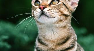 Как вытащить клеща у кошки