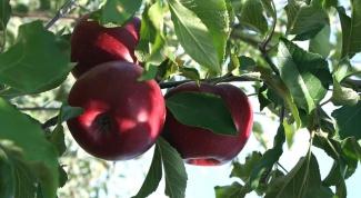 Как вырастить яблоко