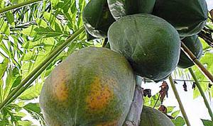 Как вырастить папайю