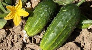 Как выращивать огурцы в открытом грунте