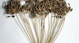 Как заварить семена укропа