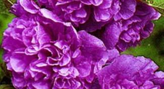Как вырастить шток розу