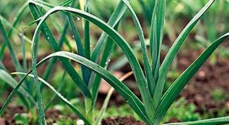 Как посадить лук порей