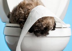 Как приучить к туалету пинчера