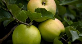 How to shape an Apple tree