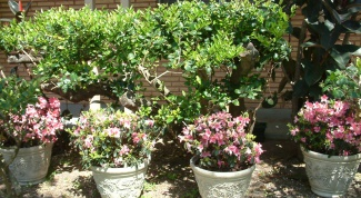 How to pinch back azaleas