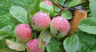 Как удобрять яблони