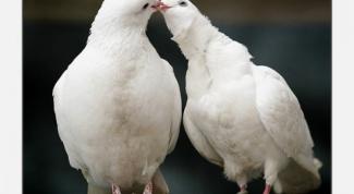 Как вылечить голубя