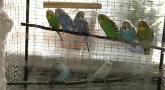 How to breed budgies at home