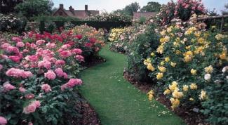 Как посадить саженцы роз
