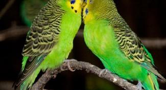 Как научить попугайчика говорить