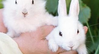 Как отличить самку кролика от самца