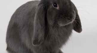 How to keep ornamental rabbits
