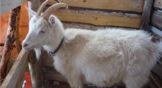 Как определить беременность козы