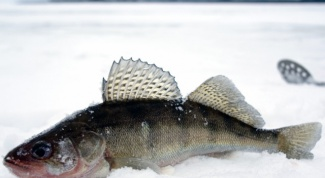 How to fillet walleye