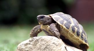 Как содержать черепаху