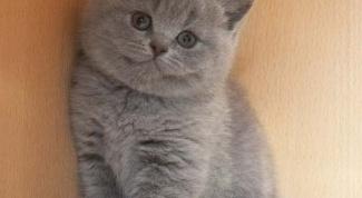 Как отличить британского котенка