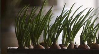 Как вырастить лук зимой