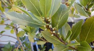 Как вырастить персик из косточки
