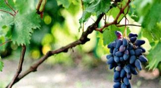 Как прорастить виноград