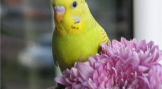 Как научить говорить волнистого попугайчика