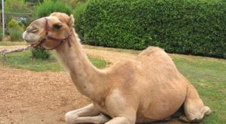 Как назвать верблюда