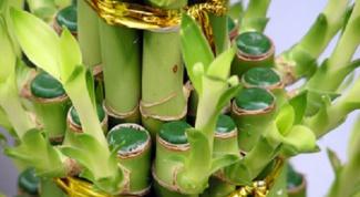 Как пересадить бамбук
